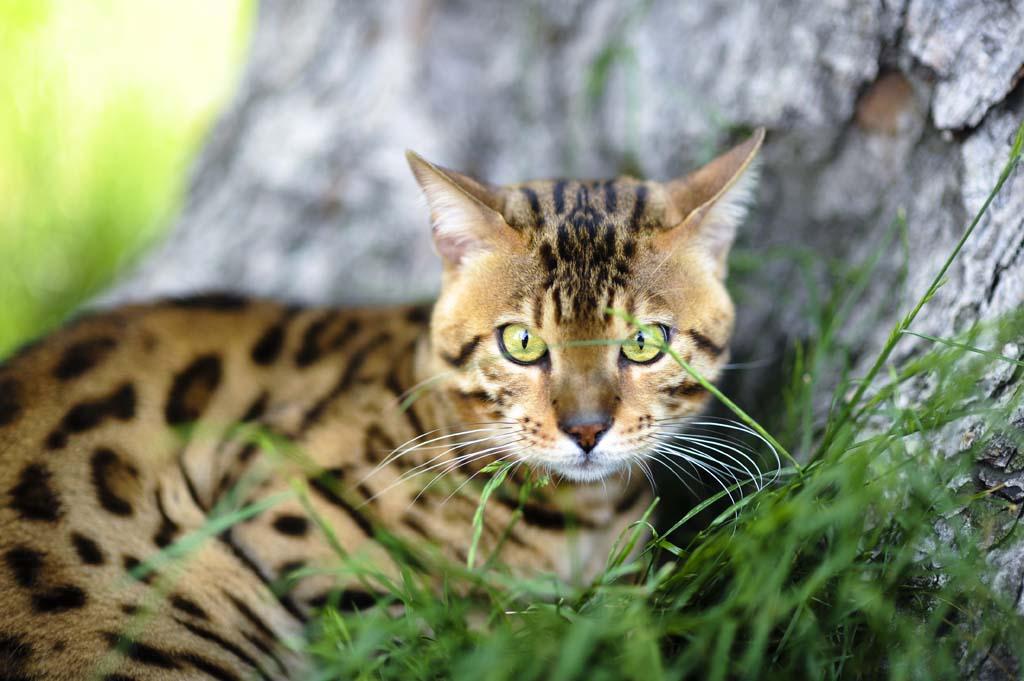 Top 10 Pedigreed Cat Breeds 6 Десятка самых популярных пород кошек в США