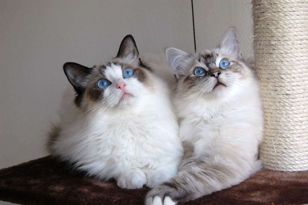 Top 10 Pedigreed Cat Breeds 7 Десятка самых популярных пород кошек в США