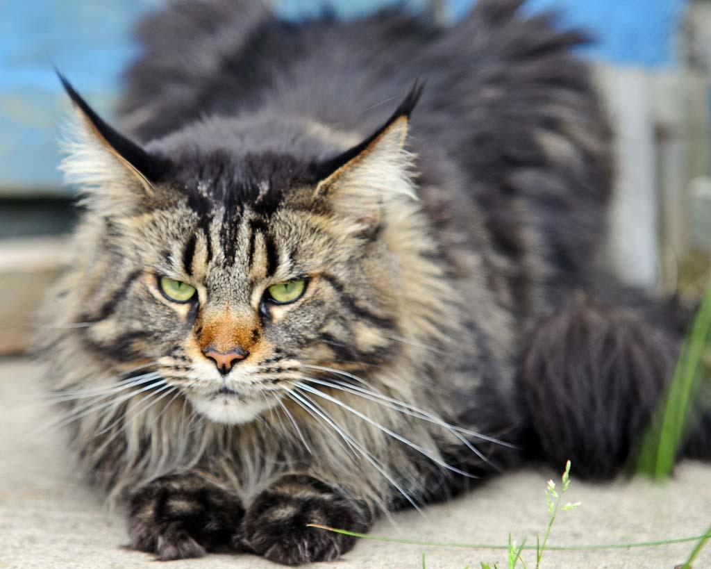 Top 10 Pedigreed Cat Breeds 8 Десятка самых популярных пород кошек в США