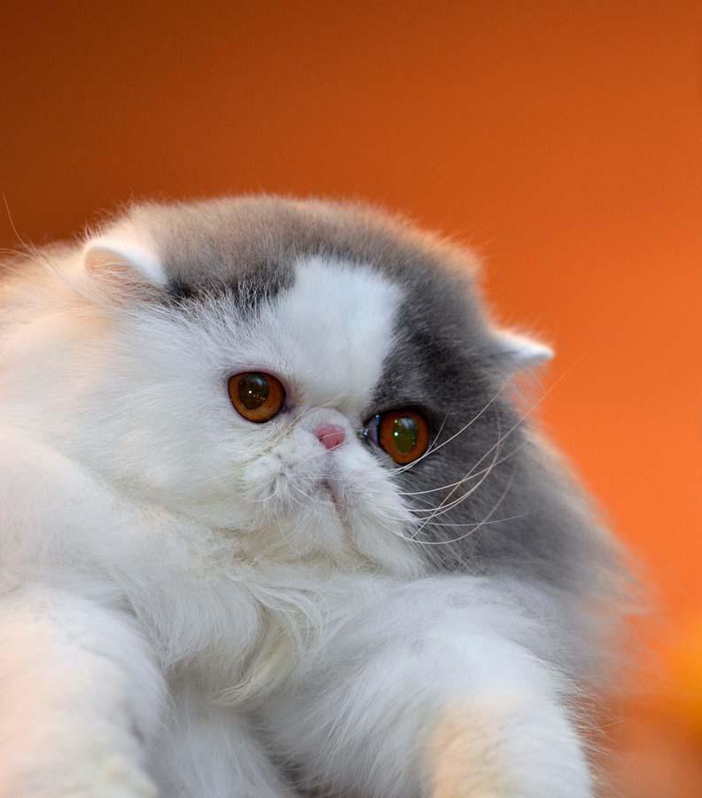 Top 10 Pedigreed Cat Breeds 9 Десятка самых популярных пород кошек в США