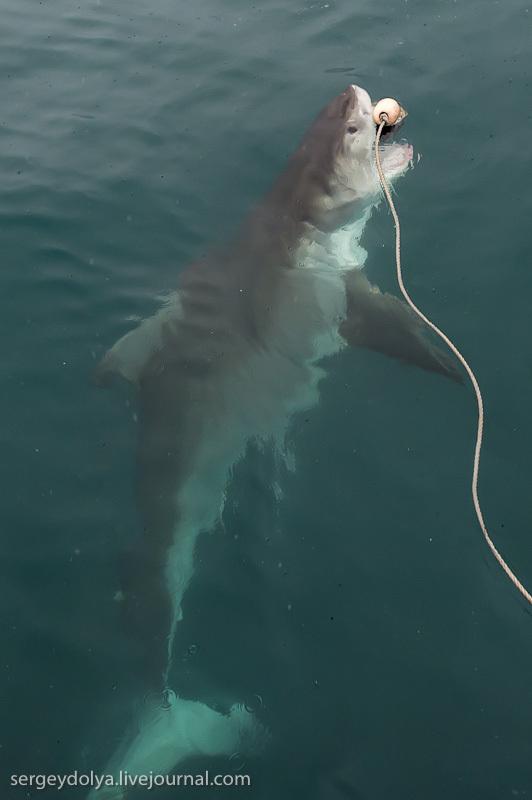 UR 17 Погружение в клетке к большим белым акулам