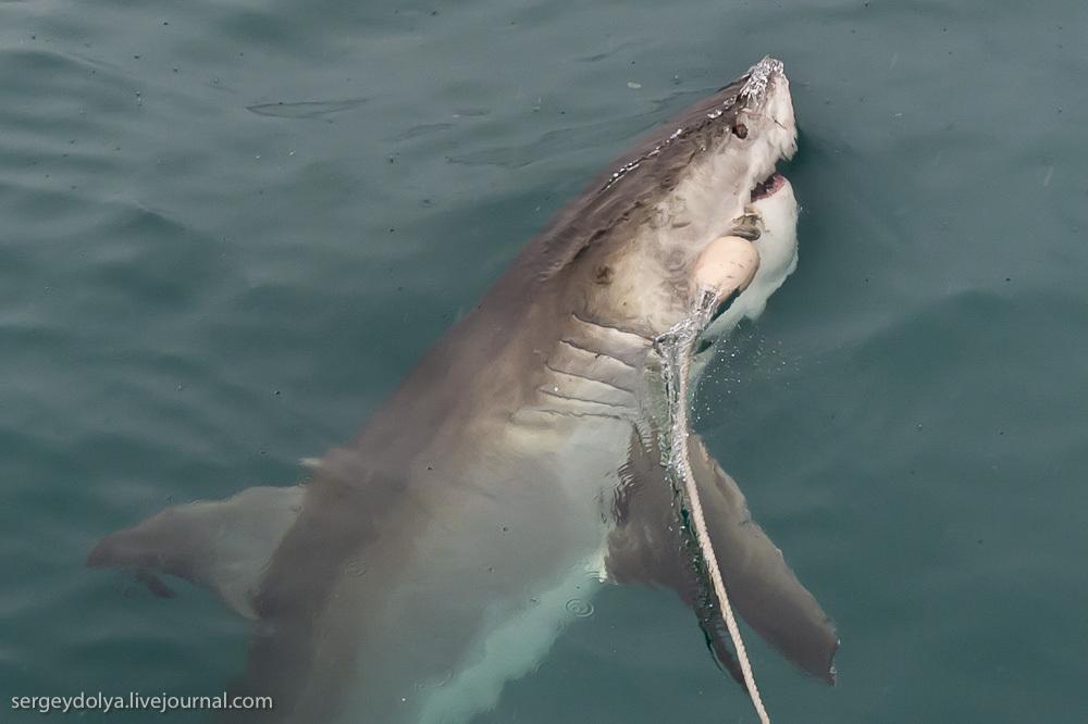 UR 18 Погружение в клетке к большим белым акулам