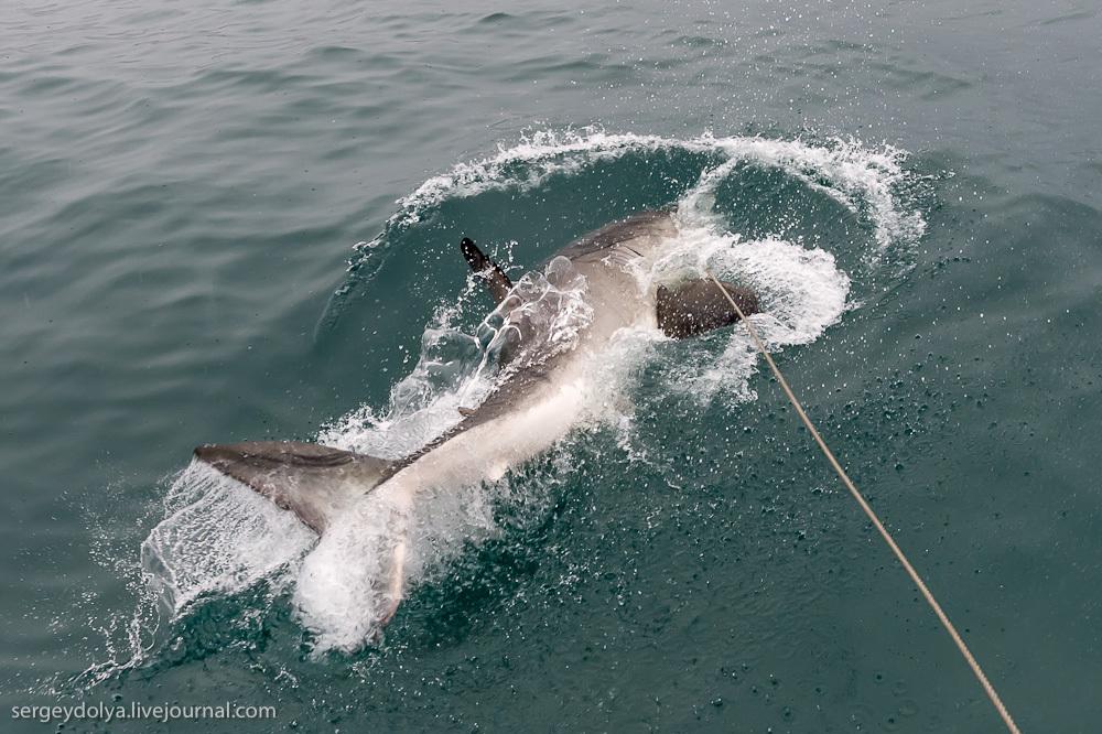 UR 19 Погружение в клетке к большим белым акулам