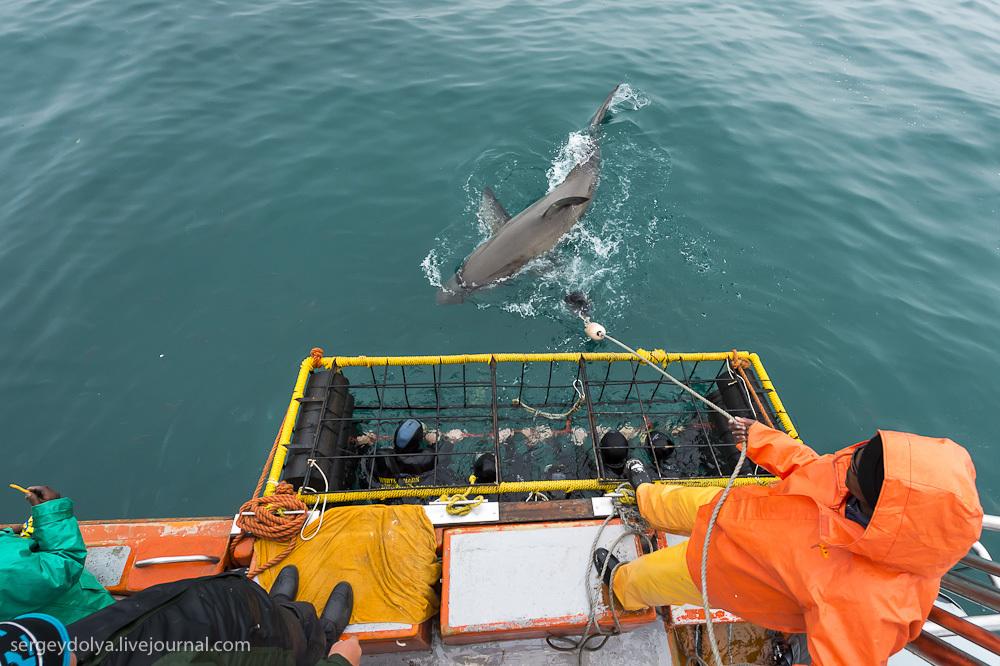 UR 2 Погружение в клетке к большим белым акулам