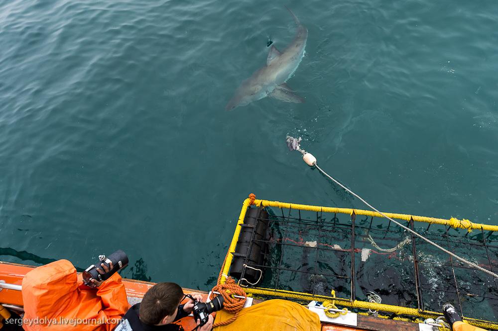 UR 21 Погружение в клетке к большим белым акулам