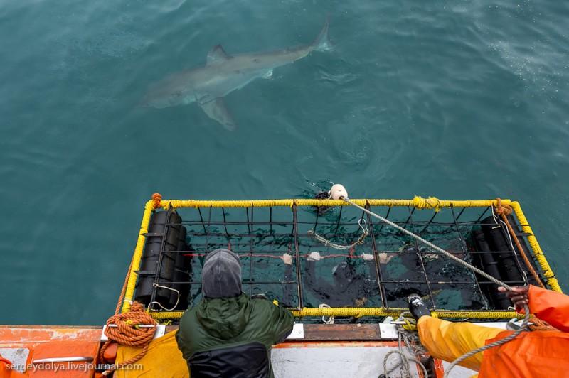 UR 22 800x532 Погружение в клетке к большим белым акулам