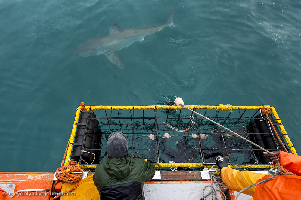 UR 22 Погружение в клетке к большим белым акулам
