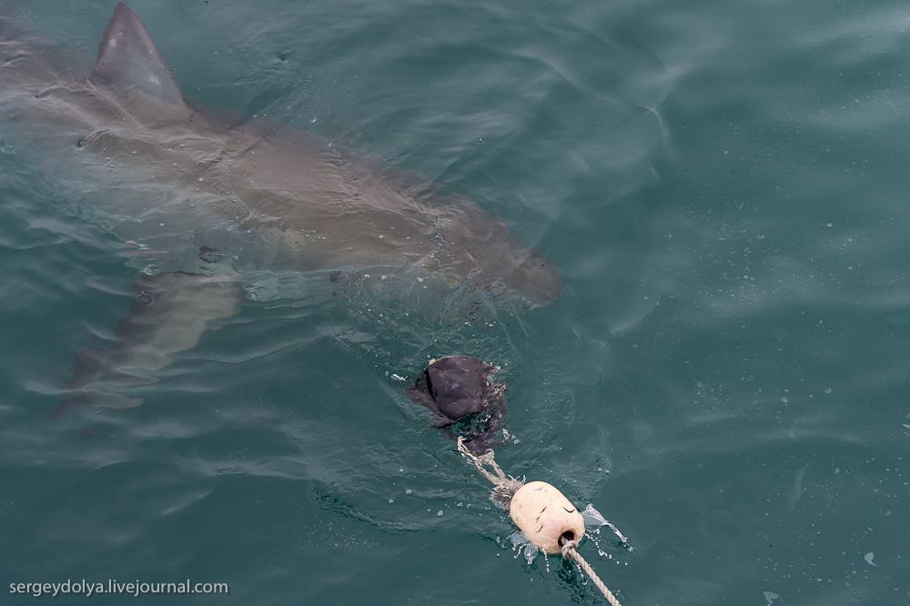 UR 23 Погружение в клетке к большим белым акулам