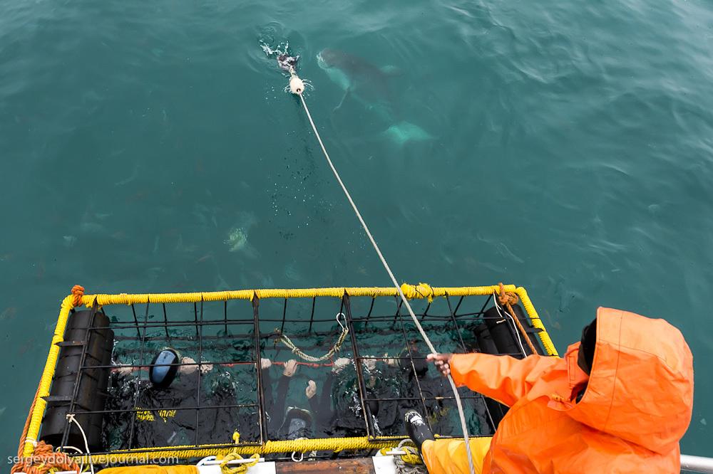 UR 24 Погружение в клетке к большим белым акулам