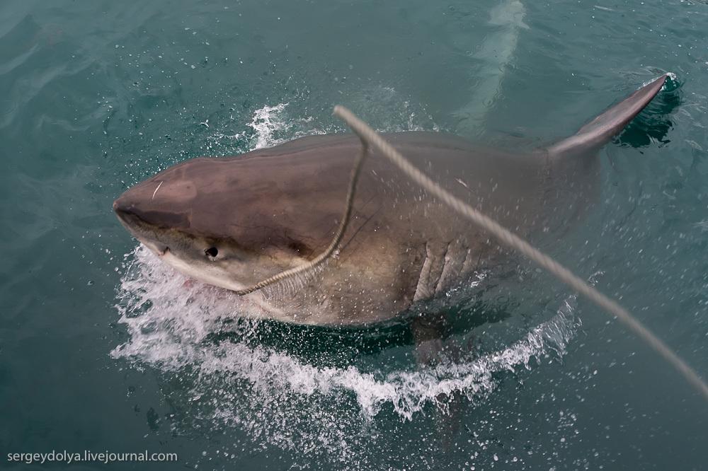 UR 26 Погружение в клетке к большим белым акулам