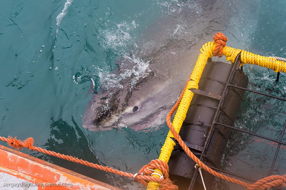 UR 28 Погружение в клетке к большим белым акулам