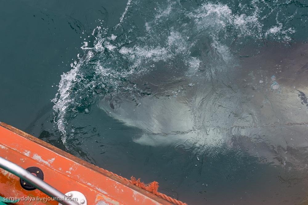 UR 29 Погружение в клетке к большим белым акулам