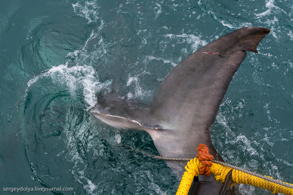 UR 30 Погружение в клетке к большим белым акулам