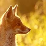 Редкой красоты снимки рыжей лисицы