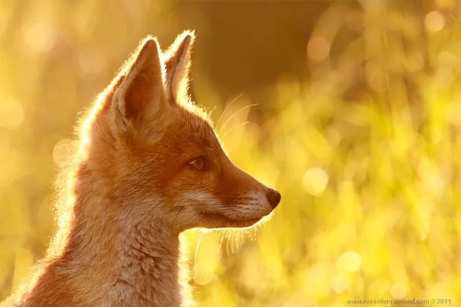 fox 1 Редкой красоты снимки рыжей лисицы