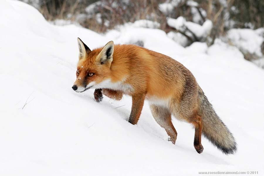 http://bigpicture.ru/wp-content/uploads/2012/09/fox-21.jpg