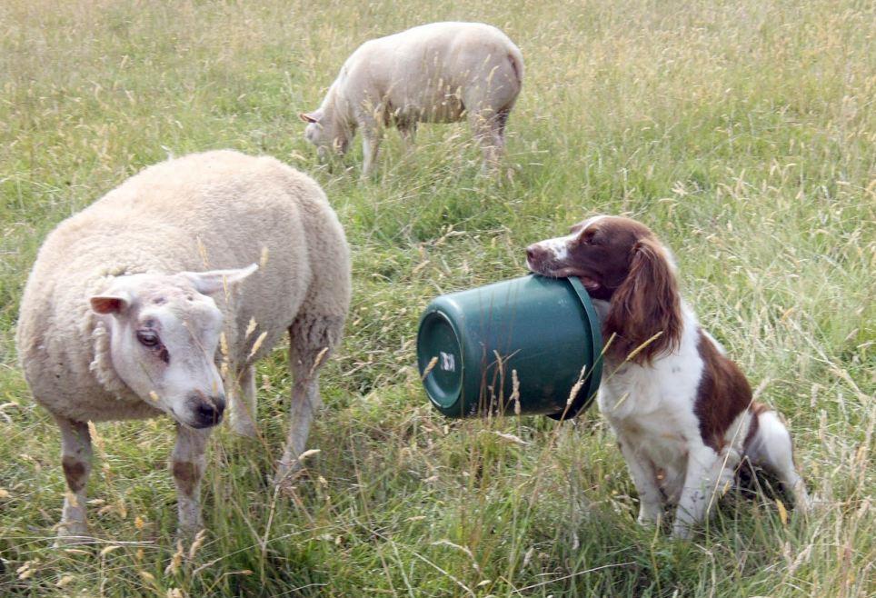 koker dzhess 2 Кокер спаниель кормит ягнят сирот молоком из бутылочки