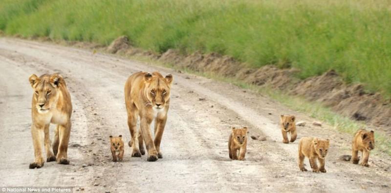 lovelyfamily 2 800x396 Под пристальным присмотром мамы львицы
