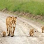 Под пристальным присмотром мамы-львицы