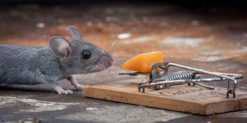 mice 1 Сыр в мышеловке