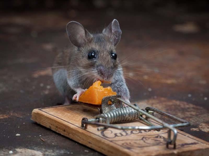 mice 10 Сыр в мышеловке