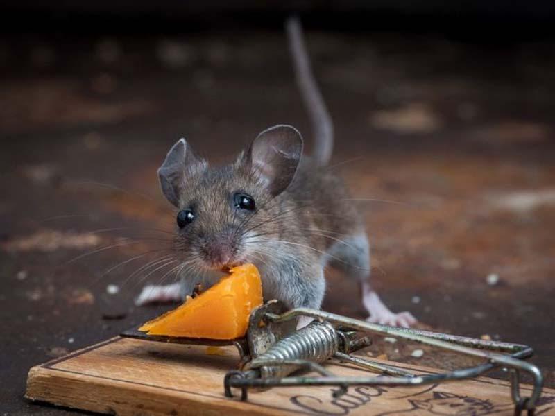 mice 11 Сыр в мышеловке