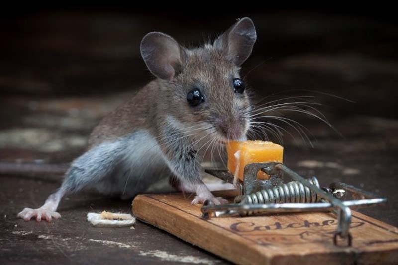 mice 12 Сыр в мышеловке