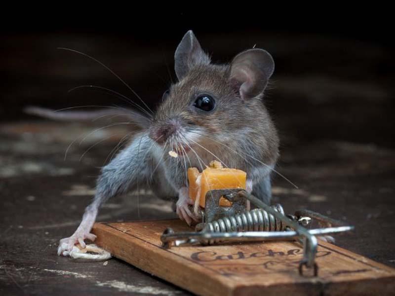 mice 13 Сыр в мышеловке