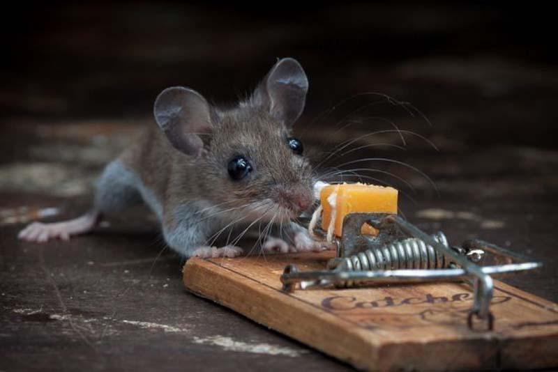 mice 14 Сыр в мышеловке