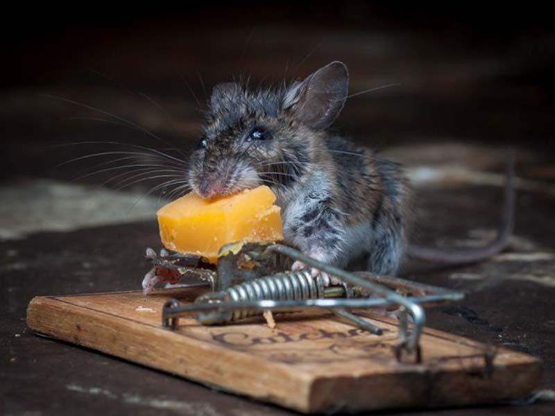 mice 15 Сыр в мышеловке