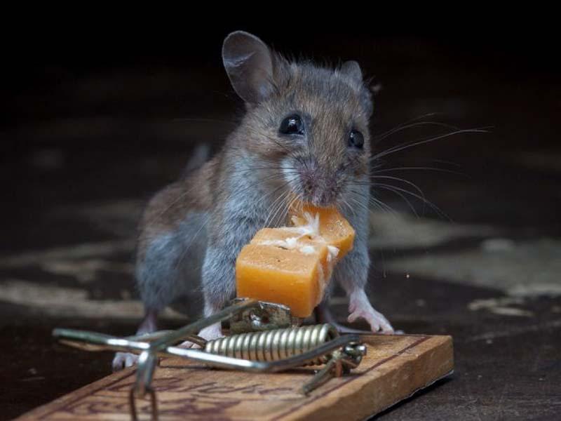 mice 16 Сыр в мышеловке