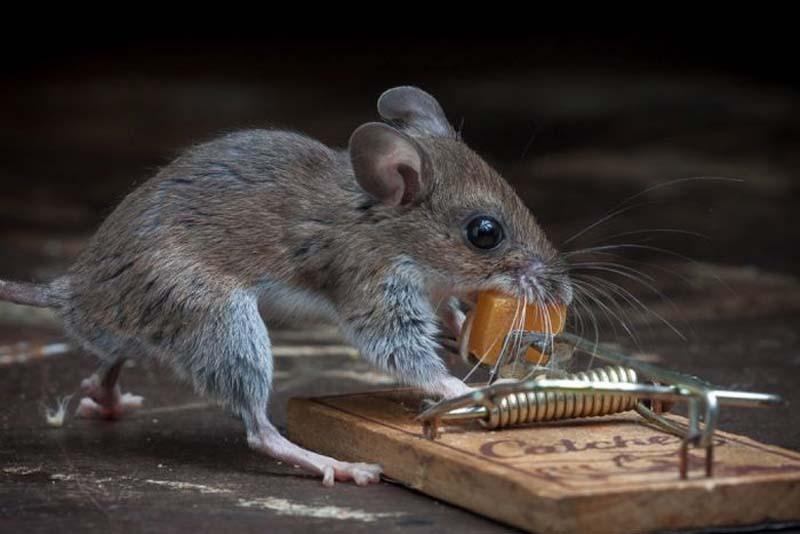 mice 17 Сыр в мышеловке