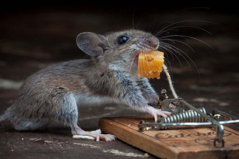 mice 18 Сыр в мышеловке