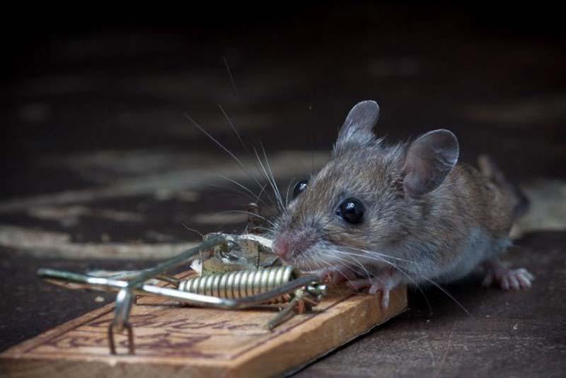 mice 19 Сыр в мышеловке