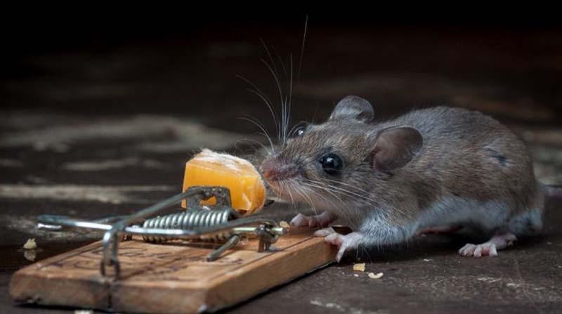 mice 2 Сыр в мышеловке