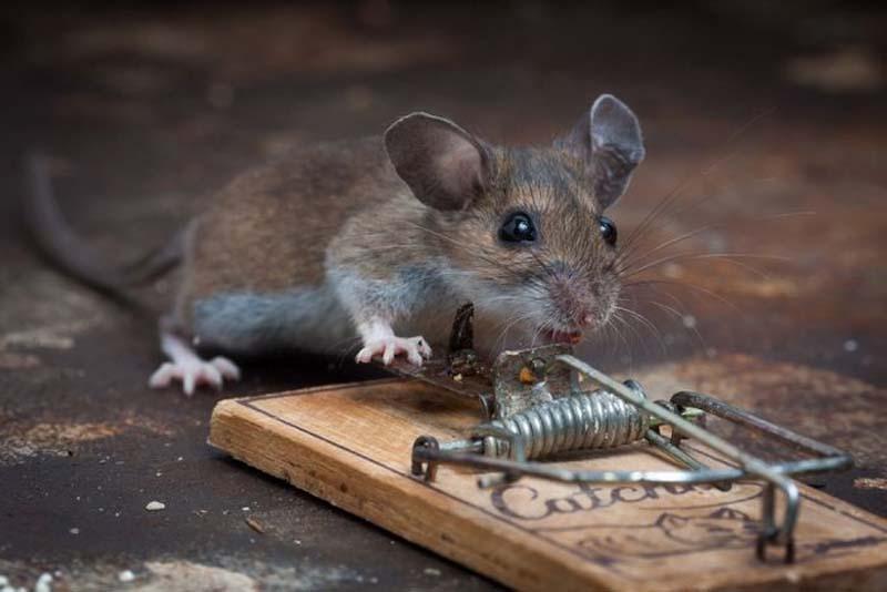 mice 20 Сыр в мышеловке