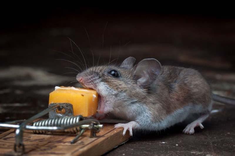 mice 3 Сыр в мышеловке