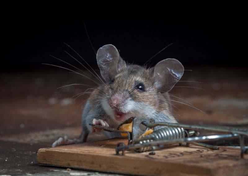mice 4 Сыр в мышеловке