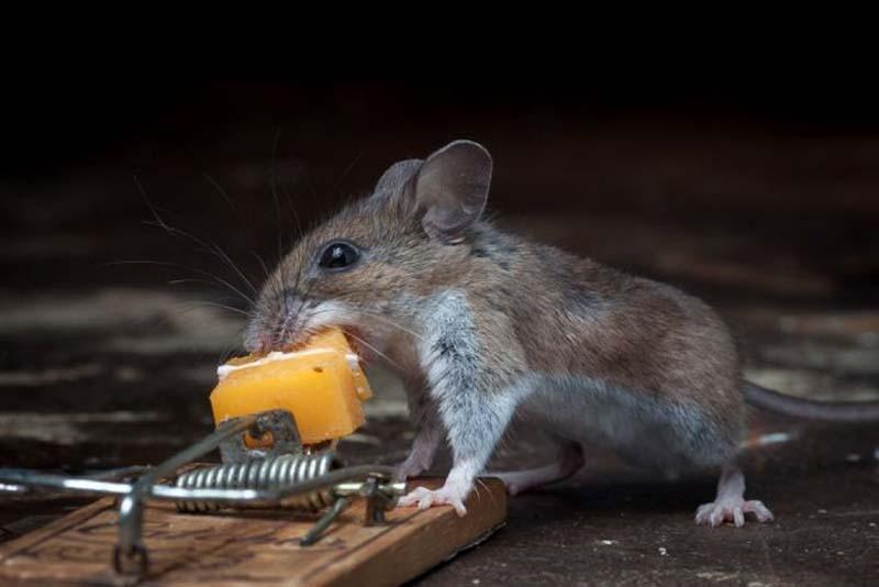mice 5 Сыр в мышеловке