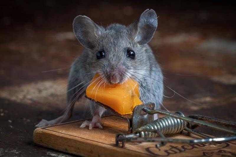 mice 6 Сыр в мышеловке