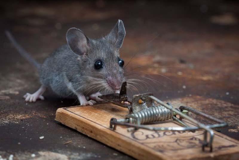 mice 7 Сыр в мышеловке