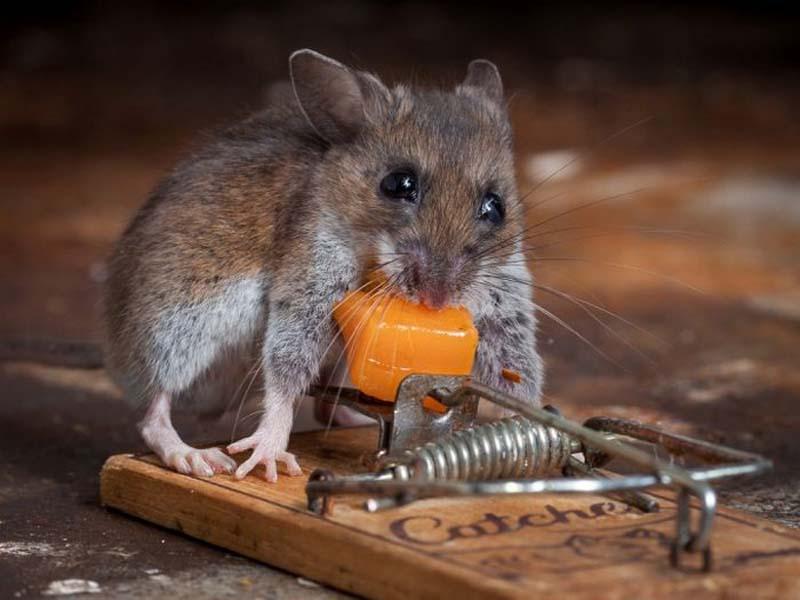 mice 8 Сыр в мышеловке