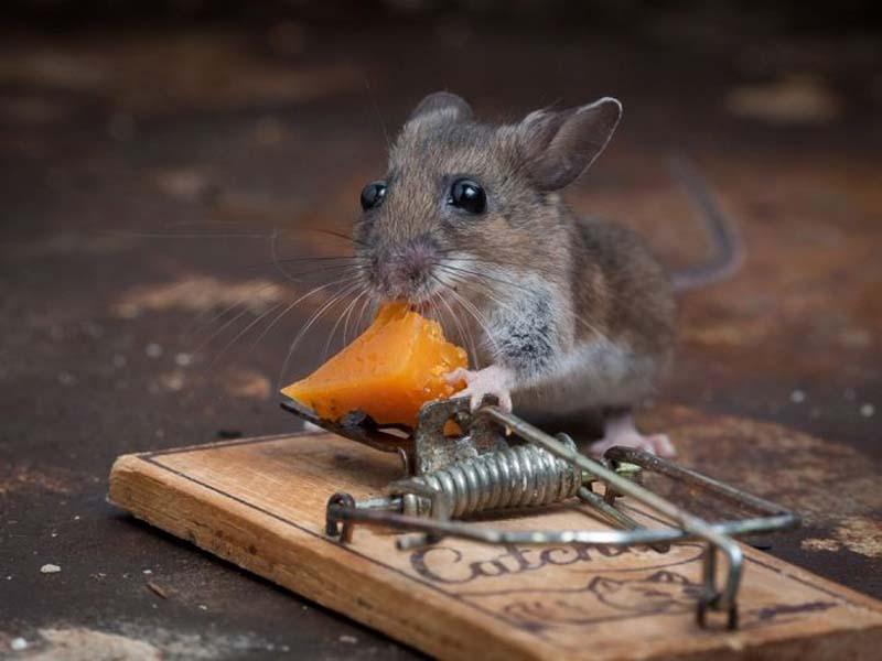 mice 9 Сыр в мышеловке