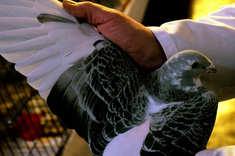 Британские любители голубей