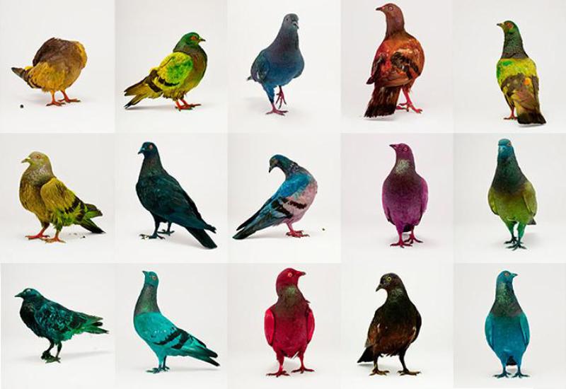 Проект «голуби такие же птицы как другие»