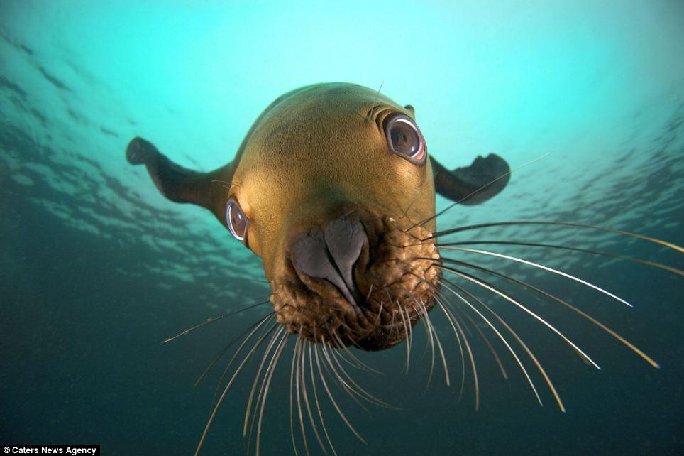 sea lion 1 На что уставился?   Морской лев и его отражение