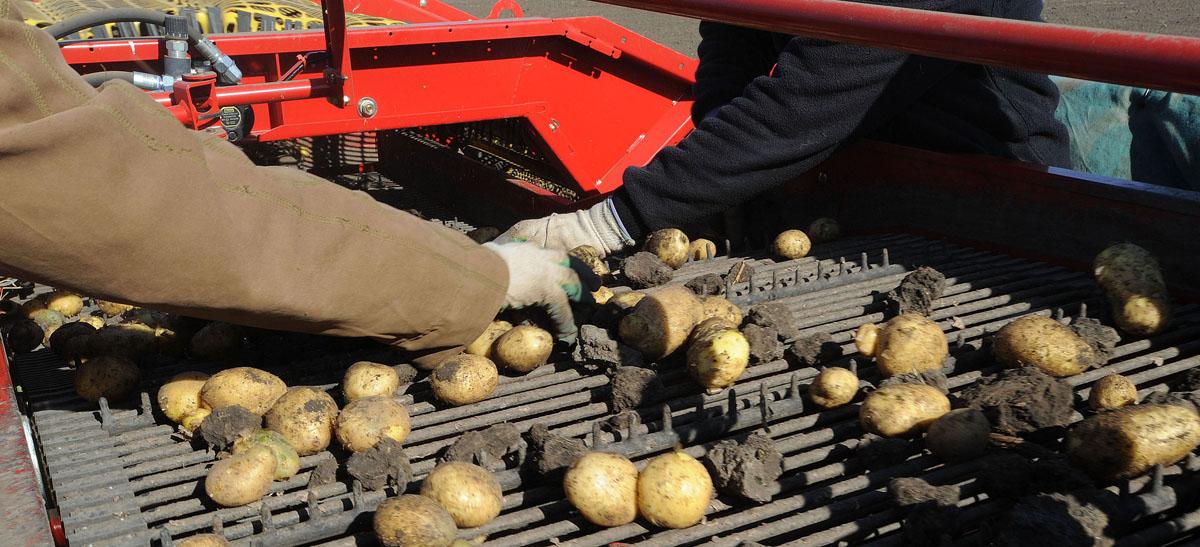 отбор картофеля2 Как производят чипсы Lays