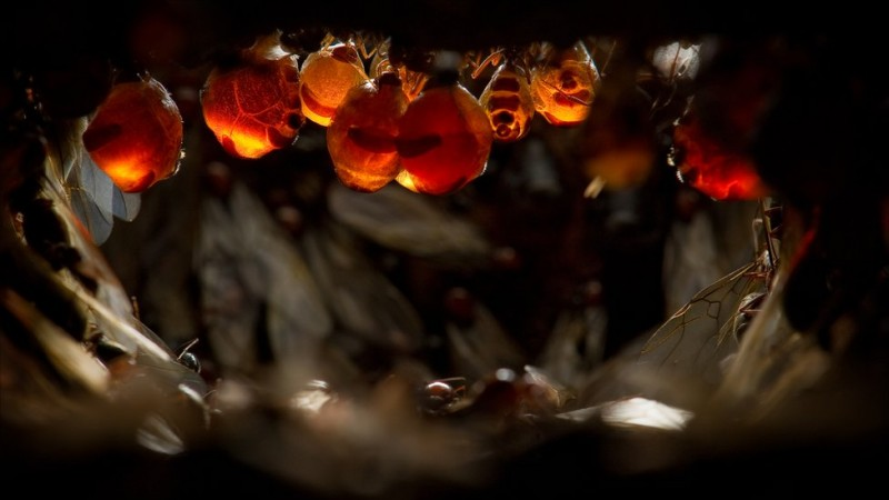 54528588 untitled1of1 3 800x450 Медовые муравьи