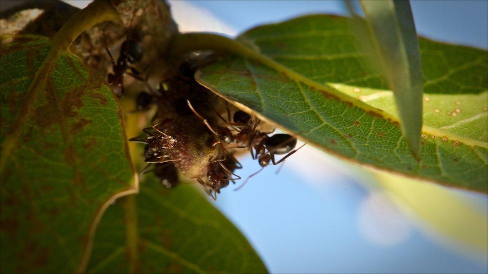 54528670 untitled1of1 9 Медовые муравьи