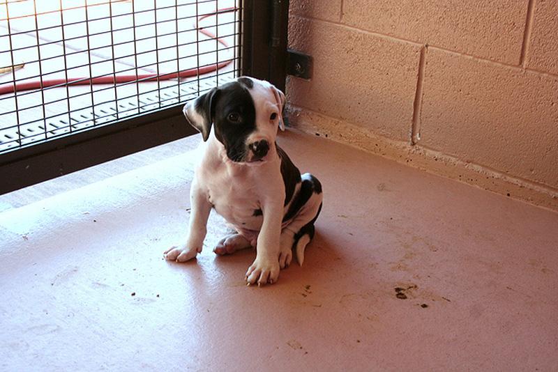 Adorable Pit Bull Puppy 1 Очаровательные щеночки питбуля
